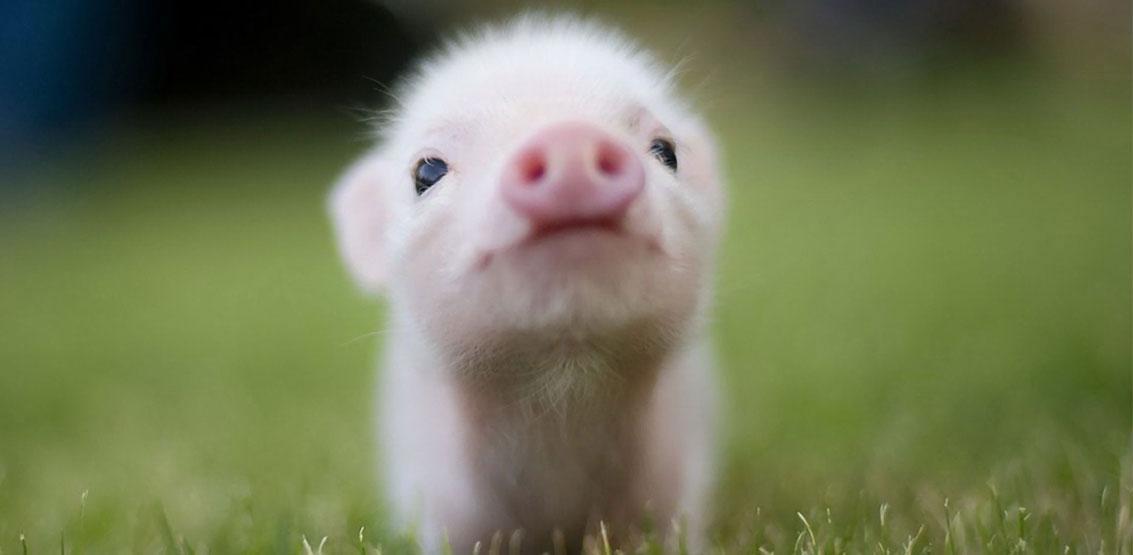 Fuzzy Little Piggies